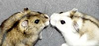 Kissing_hamsters